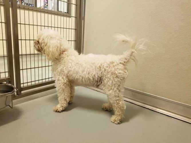 Adopt Phalcor On With Images Poodle Mix Dogs Help Homeless