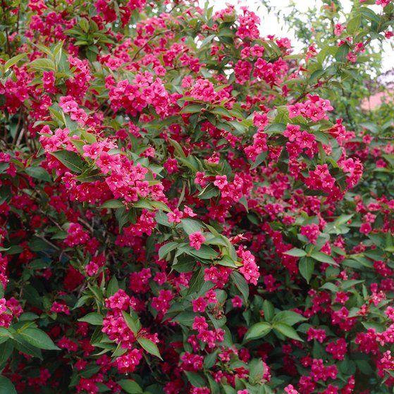 "Weigelie ""Bristol Ruby"" Rot Höhe 50 - 60 cm Topf ca. 3 l Weigelia florida"