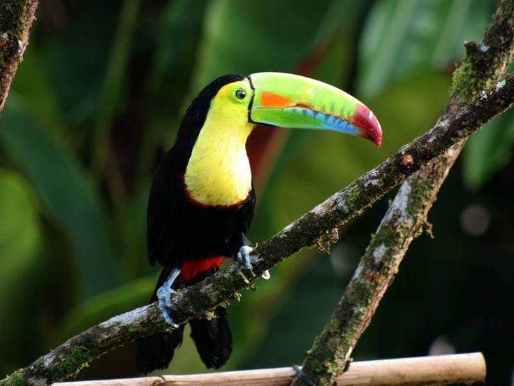 Bunte Vögel bevölkern den urwüchsigen Dschungel im Süden von Costa Rica. Mehr Infos: http://www.itravel.de/Costa-Rica/Costa-Ricas-tropischer-Sueden/5803/?utm_source=Pinterest&utm_medium=Socialmedia&utm_campaign=Pinterest