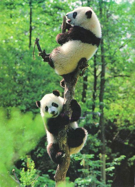 Bears - Giant Panda Bears up a Tree, World Wildlife Fund | Flickr - Photo Sharing!