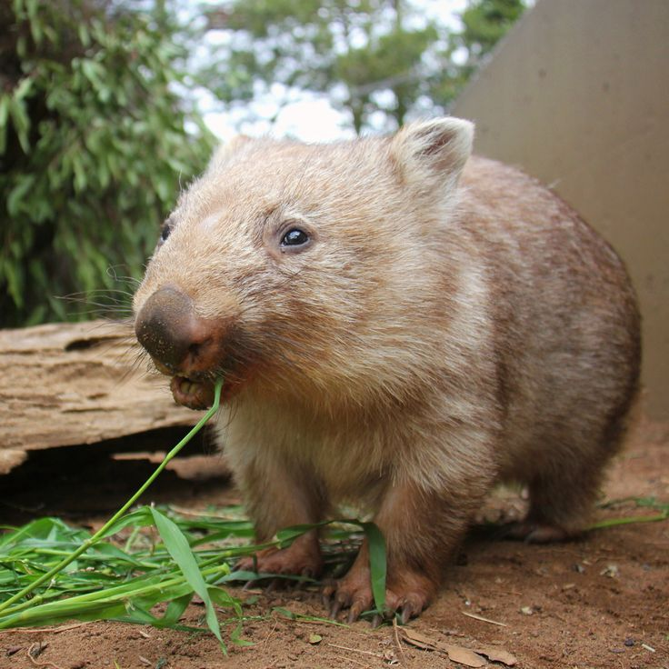 Hope you're enjoying your long weekend as much as #chloethewombat is enjoying this long grass! Did you know it takes wombats like Chloe up to 14 days to digest a meal? This slow metabolism helps them to survive in arid conditions.