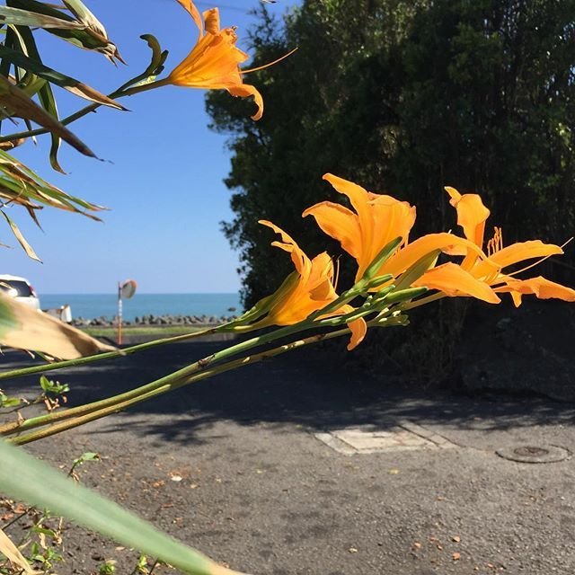 【tyuku_tyun】さんのInstagramをピンしています。 《夏の日。 ハマカンゾウかノカンゾウというところでしょうか。ちょっと判別までに時間が必要な為、カンゾウとしときます。エビゾウではないです^_^;9/10撮影。 #海#海岸#海岸植物#植物#ユリ#ノカンゾウ#ハマカンゾウ#自然#夏の海#夏》