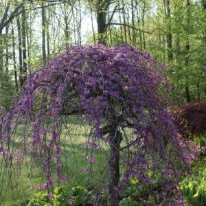Lavender Twist Redbud | Grimm's Gardens