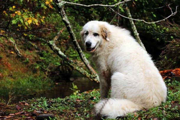 Mandy a year-old Great Pyrenees