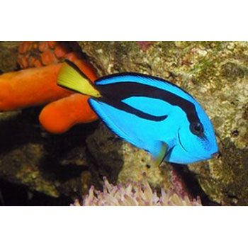 24 best that 39 s fishy images on pinterest for Blue tang fish price