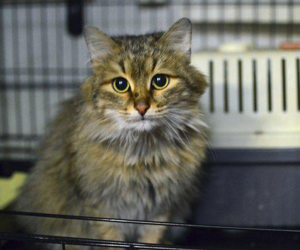 Джесси Пинкман (новое имя)Сибирский серый котик.Молодой и очень пушистый.Найден в Черниковке(Уфа) в районе Машиностроителей.