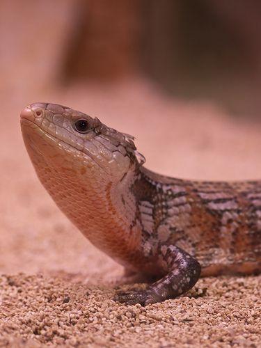 Blue tongue lizard habitat