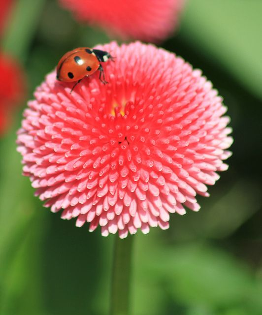 LADYBIRD FLOWER | Flickr - Photo Sharing!