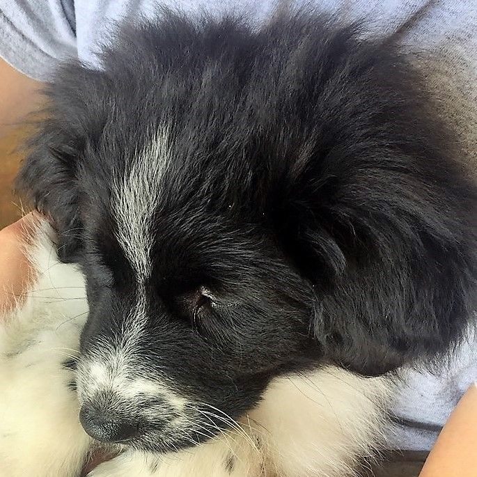 Great Pyrenees dog for Adoption in Garland, TX. ADN-665193 on PuppyFinder.com Gender: Female. Age: Baby