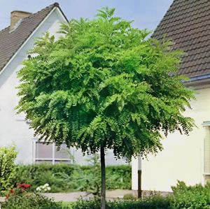 Robinia Mop Top ( I love this tree )