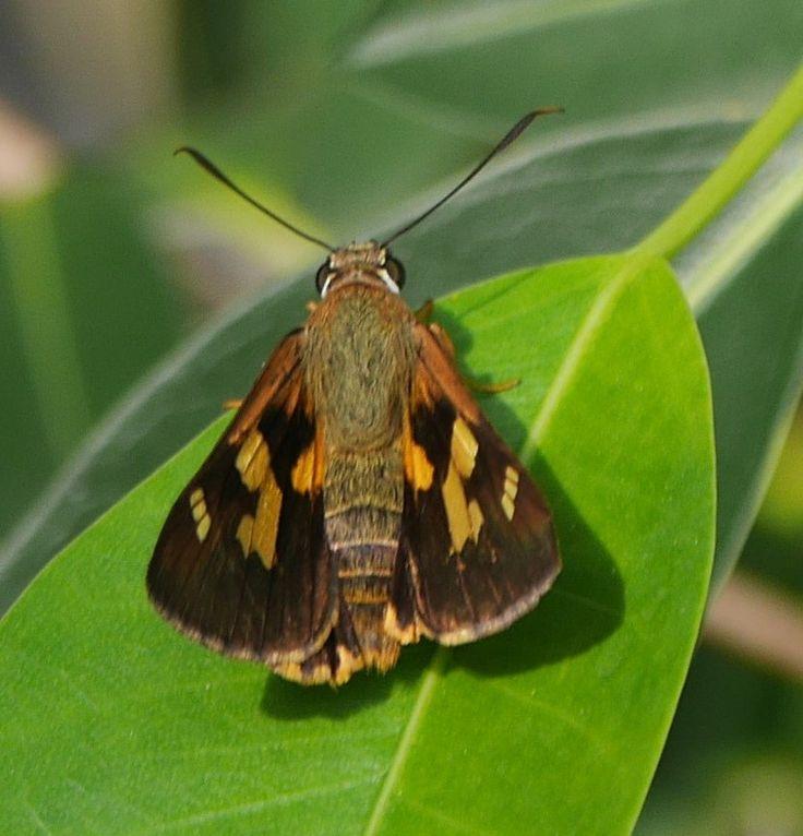 Orange Palmdart Skipper Butterfly