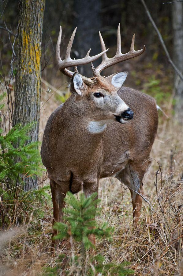 500px / White-Tailed Deer Buck by Michael Cummingshttp://goo.gl/aG33yr
