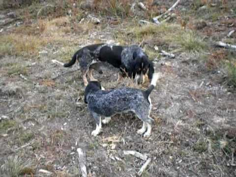 basset bleu de gascogne | Basset Bleu de Gascogne | Video | Elevage d'An Naoned - YouTube