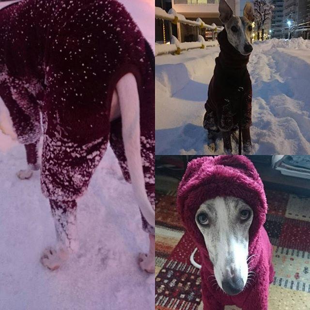 #ウィペット#whippet#ロイス #朝のお散歩#あさんぽ#札幌  だいぶ元気になったロイちゅんですが昨日念のため病院にて下痢止めと整腸剤をもらってきました~  まだまだ本調子じゃないから軽めにお散歩に行くと昨日とは全然違い元気元気。 雪につっこむ、テンションあがる、ひっぱる、走る。  新しい服はどうやらあったかかったらしいよかったね~  #新しい冬服#送料込みで諭吉さん#高いけど買ってよかった#色違い買おうかな