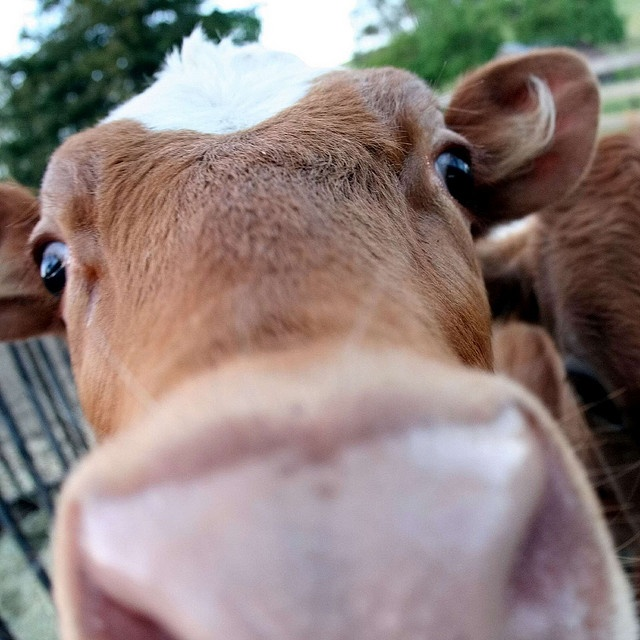 aah, i think cows are just the cutest things everrr.