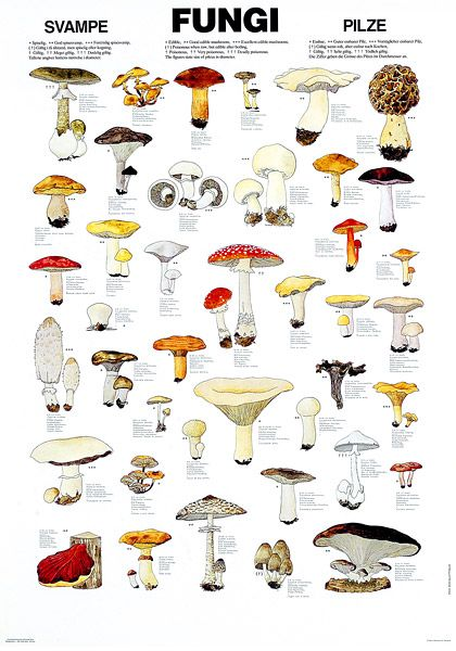 Edible fungi chart. If the world is ever covered in darkness, the only plants that will grow without sunlight are mushrooms. Stick this in your survival guide!