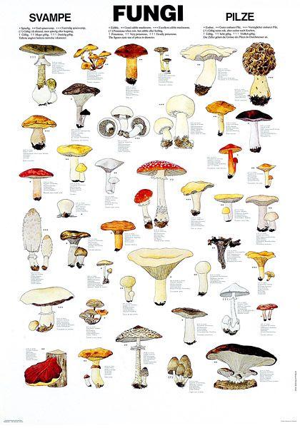 Edible fungi chart.