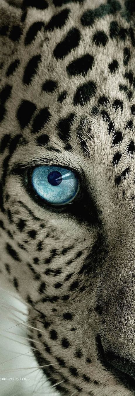 safari adventure / karen cox.Snow Leopard on Safari | LOLO❤︎