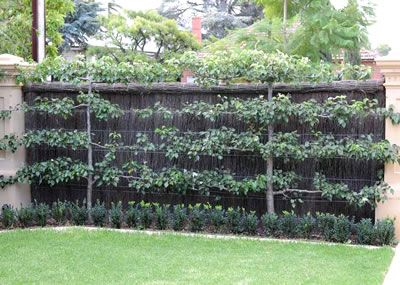 What to do when you are faced with a blank wall, but you want fruit trees? Why - just use the ancient technique of espalier!