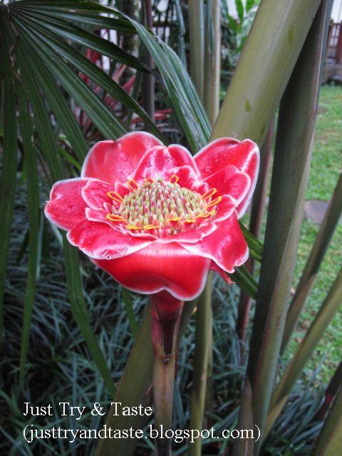 Just Try & Taste: Segudang Manfaat Bunga Kecombrang/Honje/Kantan/Siantan