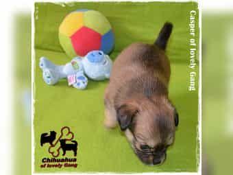 Süßer Chihuahua Bub sucht sein zu Hause auf LEBENSZEIT