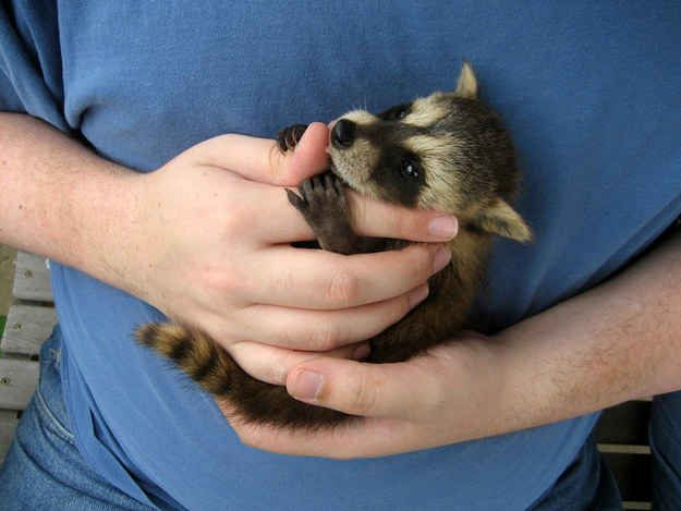 This baby raccoon who is so cute that you might not mind having him in your trash can. | 31 Pictures Of Baby Animals To Remind You The World Is Wonderful