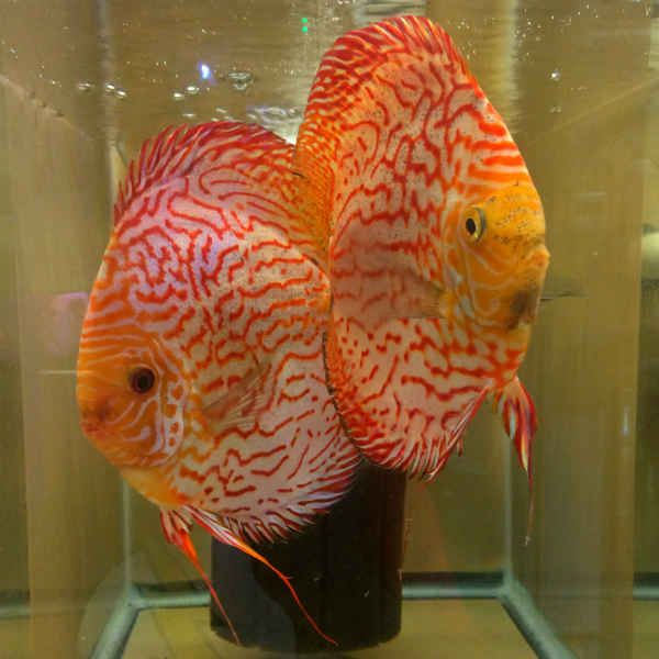17 best images about discus fish on pinterest auction for Best place to buy discus fish