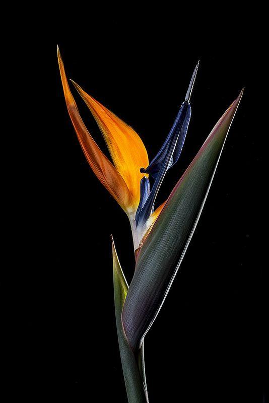 Bird of Paradise   Flickr - Photo Sharing!
