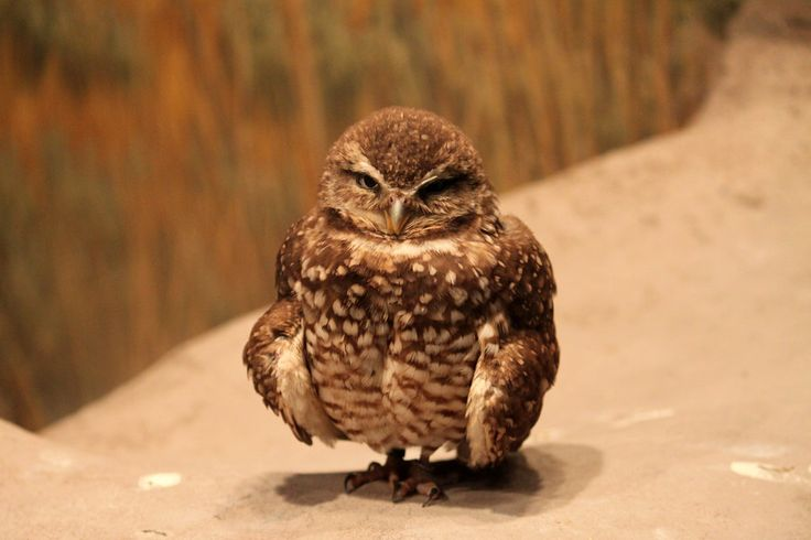 grumpy owl.Grumpy Owls, Baby Owls, Sweets Animal, Funny, Coot Animal, Owls Obsession, Silly Animal, Grump Silly, Tiny Owls