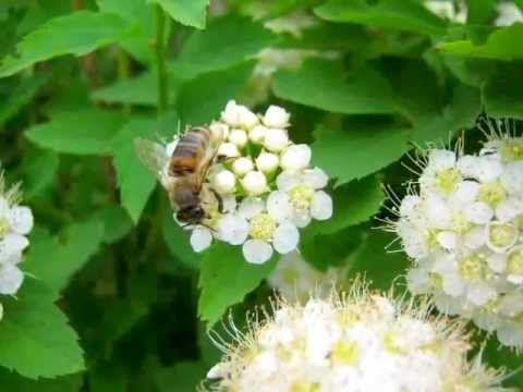 Форевер Пчелиная пыльца Уникальный продукт питания
