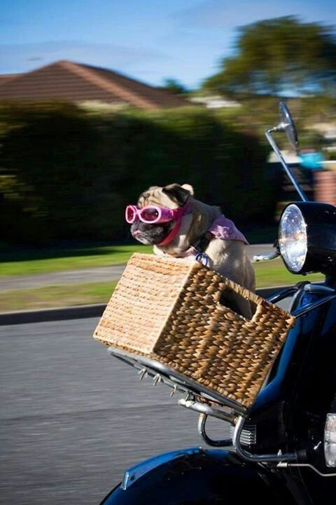 Pug sitting a handle bar basket