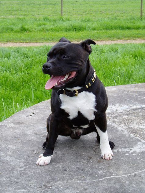 Staffordshire Bull Terriers Guide