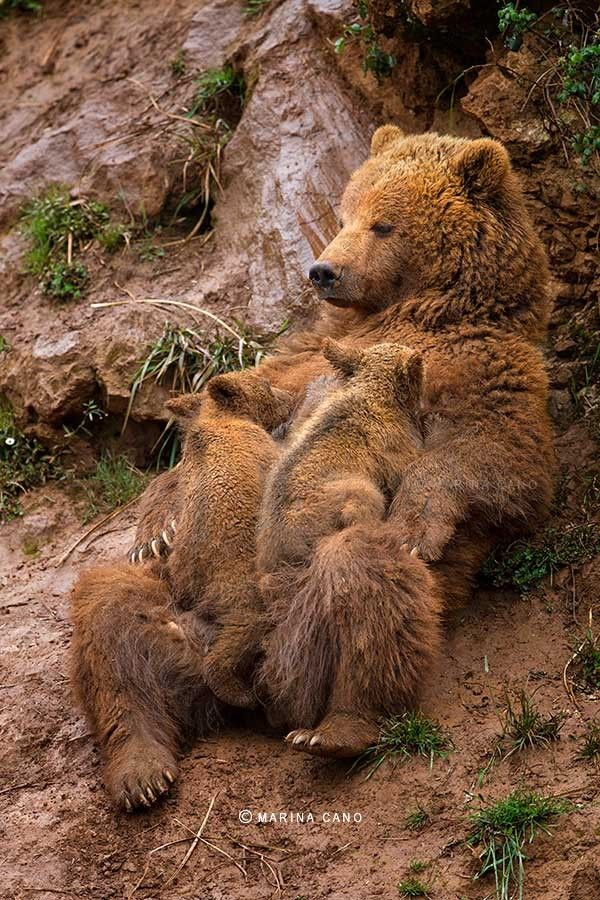 Mother Grizzly Bear Feeding her Baby Cubs