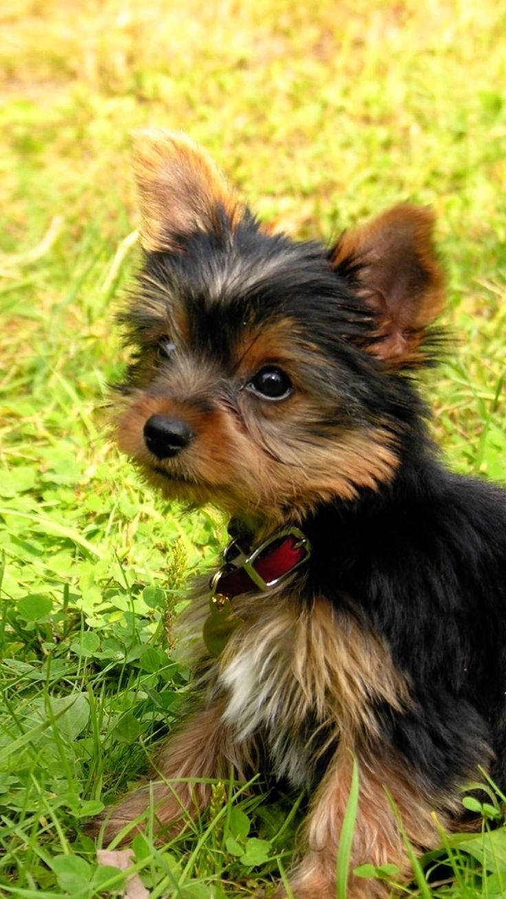 1000+ ideas about Medium Size Dogs on Pinterest | Tibetan ...