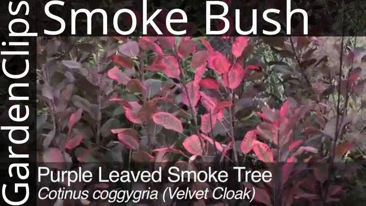 Purple Leaved Smoke Tree - Cotinus coggygria - How to Grow Smoke Bush