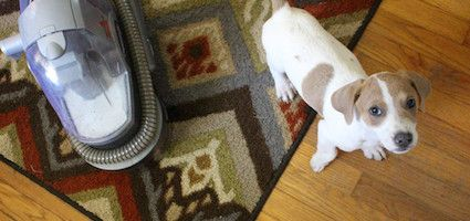 Foster Puppy Keyser Söze Puts the Bissell SpotBot Pet Vac to the Test #dogster #ilovemydogs #dognews