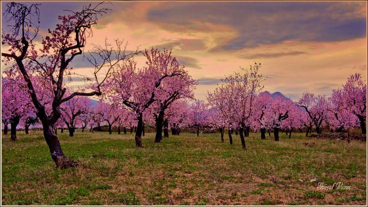 Almendros en flor. #Alcalalí #febrero #MarinaAlta   Foto: Gonçal Vicens Bordes