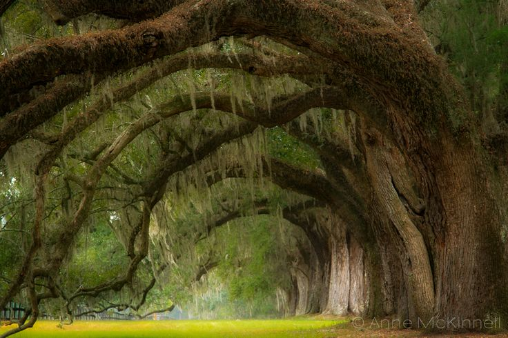 Live oaks covered with Spanish moss and resurrection fern at Boone Hall