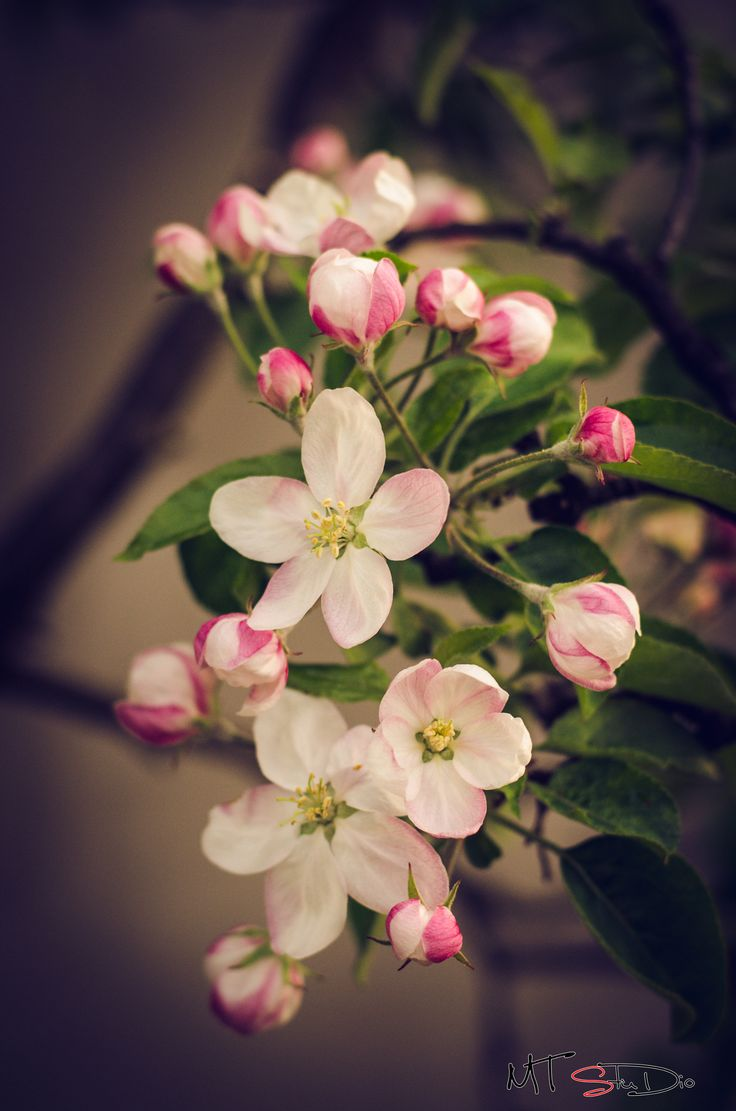 Pink blossom by Pricope Marian on 500px