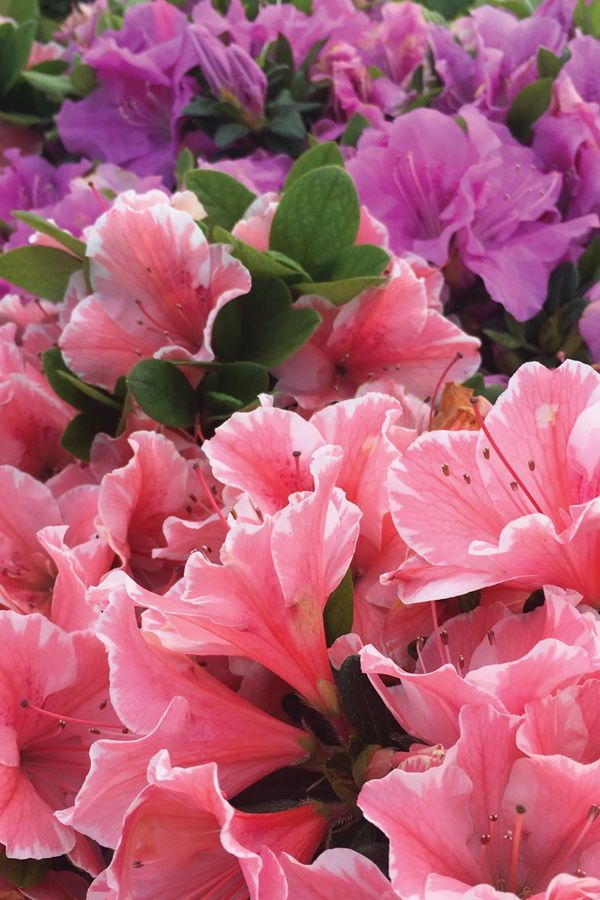 Do My Encore Azaleas Need Special Protection From The Summer Heat Azaleas Care Azaleas Types Of Flowers