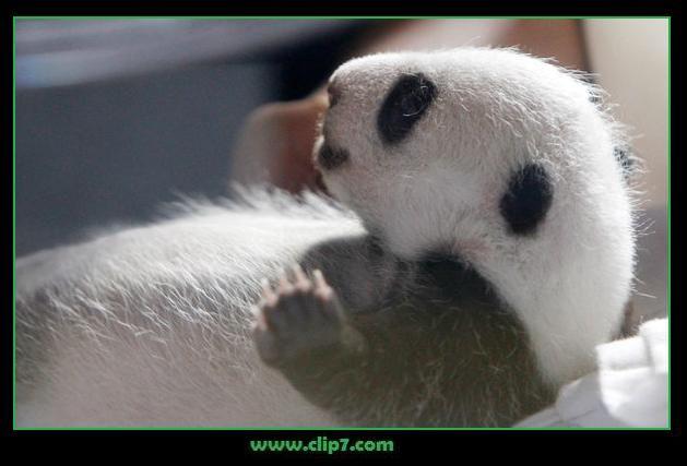 imágenes de osos panda bebés    [24-6-17]
