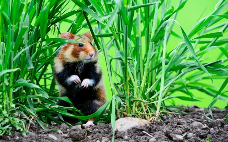 """The fearsome European hamster is described by BBC Wildlife as """"somewhat laddish"""" and """"bolshy in temperament"""" (i.e., macho and aggressive). It's also too tasty for it's own good."""