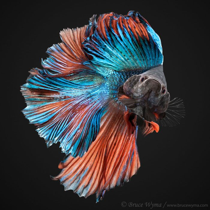 Fish photograph go fish pinterest colorful fish for Betta fish colors