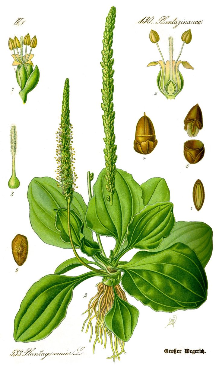 broadleaf plantain illustration plantago major