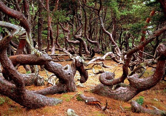 The troll forest on Öland, Sweden