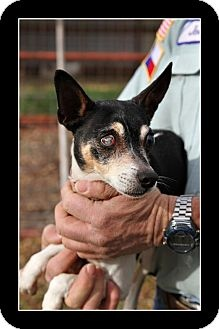 TEXAS URGENT ~ Lila is adoptable senior Special Needs Rat Terrier Chi mix in #\Comanche. This poor girl needs someone to love her & take care of her she is in GREAT health except for her cataracts......she would make a great lap dog. Act quickly to #\adopt Lila. Pets at this shelter may be held for only a short time. COMANCHE ANIMAL SHELTER We are located at 901 E Fleming RD in Comanche TX 76442   The phone number is 325-356-5685  However, If no answer call city hall at 325-356-2616