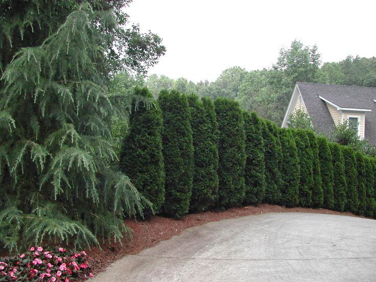 Columnar plants add unique interest to the landscape…The featured plant is a spiral Emerald Green Arborvitae, a sturdy plant for Nashville, Tennessee. Pruning once a year after the spring flush is …