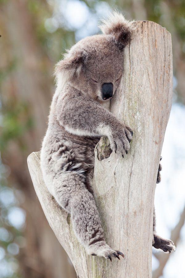 Koala ©mark higgins