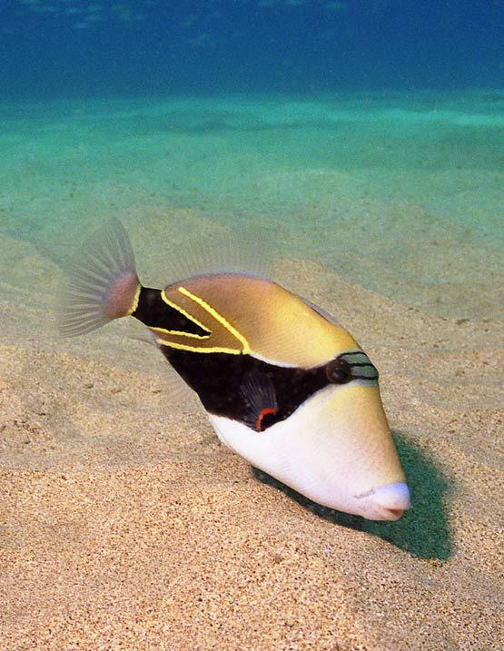 """Humuhumunukunukuapua'a, Rhinecanthus rectangulus, (saw snorkeling off Kahekili Beach) about 12"""" long (biggest I've seen)"""