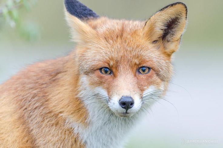Red Fox by Jeffrey Van Daele on 500px